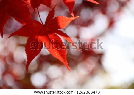 Autumn maple leaves in the fall  with blurred  bokeh background. #1262363473