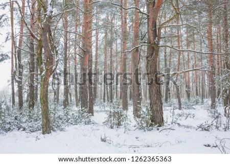 Winter in Belovezhskaya Pushcha. Belarus. #1262365363