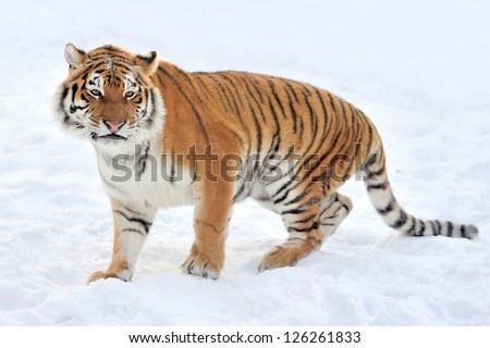 Beautiful wild siberian tiger on snow #126261833