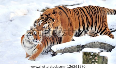 Beautiful wild siberian tiger on snow #126261890