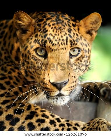 Leopard portrait on dark background #126261896