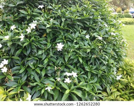 Murraya paniculata or jasmine background. #1262652280