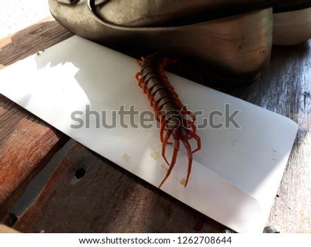 Centipedes are invertebrates in the Chilopoda class, located in the arthropod arthropod. The legs are found in the tropical zone. #1262708644