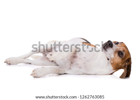 Adult beagle dog lying isolated on white background and looking up #1262763085