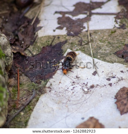 Close up of an Asian hornet resting on a stone #1262882923