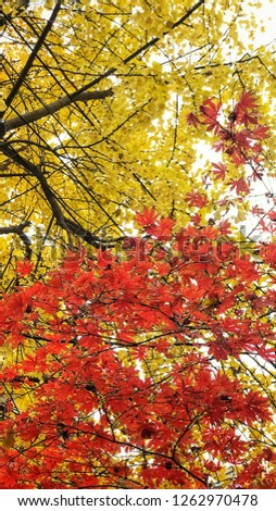 The yellow and red leaves during fall season. #1262970478