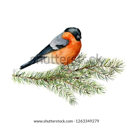 Watercolor bullfinch sitting on pine tree branch. Hand painted winter illustration with bird  and fir tree isolated on white background.  Holiday clip art for design, print. Christmas card.