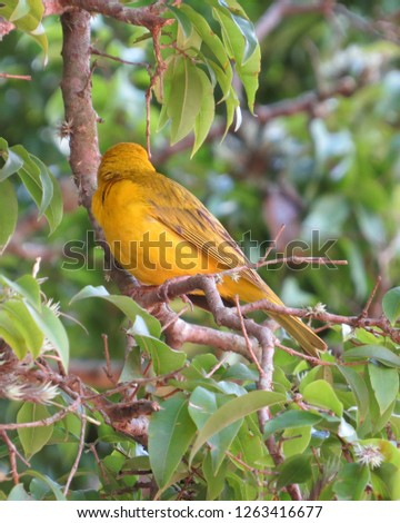 Brazilian bird with the popular name of canary of the earth #1263416677