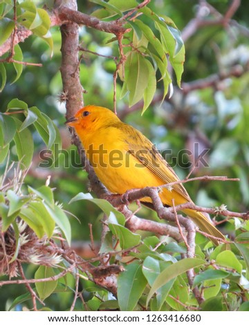 Brazilian bird with the popular name of canary of the earth #1263416680