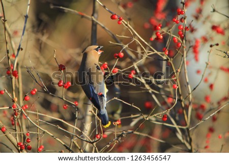 Cedar Waxwings are beautiful birds.  Photographed here, an adult visits a Honeysuckle bush with ripe, red and succulent berries.  As seen in Saint Louis, Missouri, USA.  Colors in Nature.  #1263456547