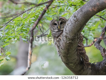 Barred Owl #126358712
