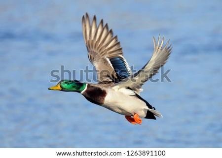 Mallard In Flight #1263891100