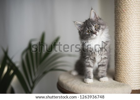 blue tabby maine coon kitten standing on cat furniture tilting head beside a houseplant in front of white curtains #1263936748