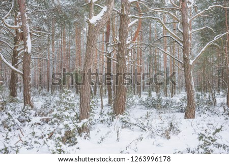 Winter in Belovezhskaya Pushcha. Belarus.  #1263996178