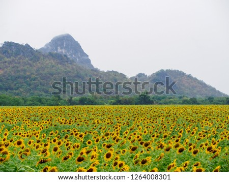 Breathtaking view of a panoramic field of sunflowers, misty mountain peaks in the background. Khao Chin Lae, Lopuri, Thailand. Travel and seasons. #1264008301