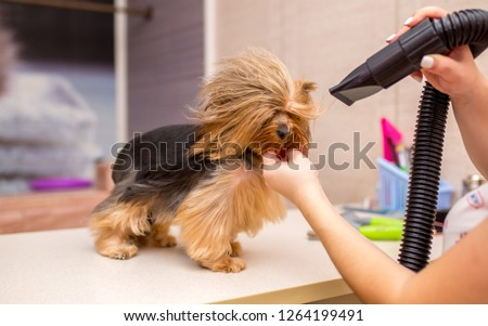 Grooming animals, grooming, drying and styling dogs, combing wool. Grooming master cuts and shaves, cares for a dog. Beautiful Yorkshire Terrier. #1264199491