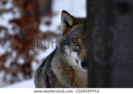beautiful wolf in winter, wolf in snowy landscape, attractive winter scene with wolf, beautiful winter landscape, wolf in forest, winter scenery with big predator #1264569916