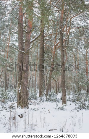 Winter in Belovezhskaya Pushcha. Belarus.  #1264678093