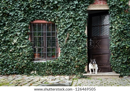 dog standing in front of house covered by ivy #126469505