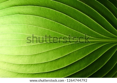 A beautiful fresh green leaf highlighted by the sun. The plant has a beautiful expressive structure.                                 Royalty-Free Stock Photo #1264744792