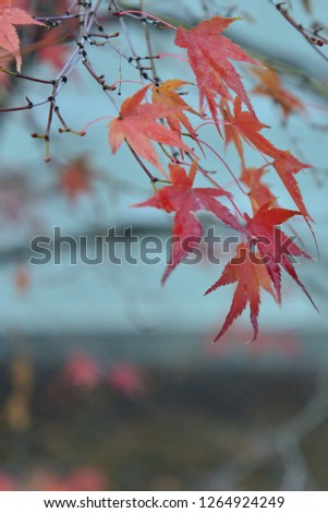 autumn red leaves #1264924249