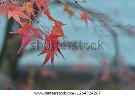 autumn red leaves #1264924267