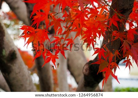 Red Autumn leaves in Kyoto, Japan #1264956874