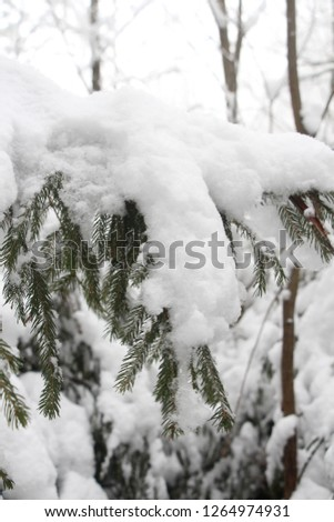 Winter in the forest. Snow lies on the branches of the Christmas tree. #1264974931