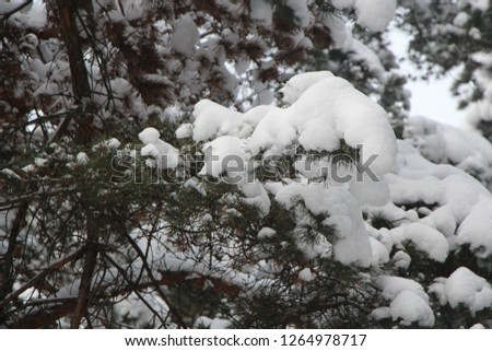 Winter in the forest. Snow lies on the branches of pine. #1264978717