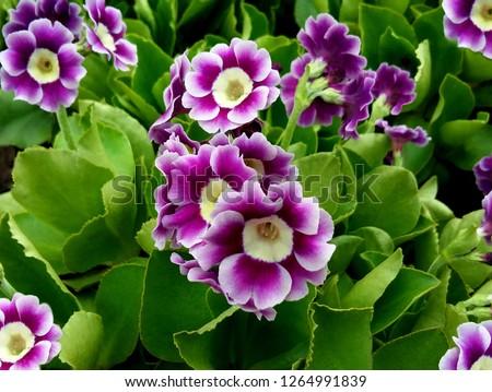 Bunch evening primrose plant (primula vulgaris) purple first spring flower. Background pattern colorful primrose or primula in floral market garden. Colorful pink primroses flowers, primula polyanthus #1264991839