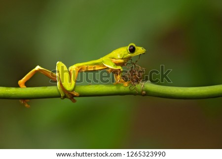 Gliding tree frog (Agalychnis spurrelli) is a species of frog in family Hylidae. It is found in Colombia, Costa Rica, Ecuador, and Panama. #1265323990