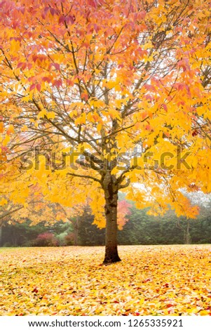 Maple tree in the sun showing autumn fall colors #1265335921