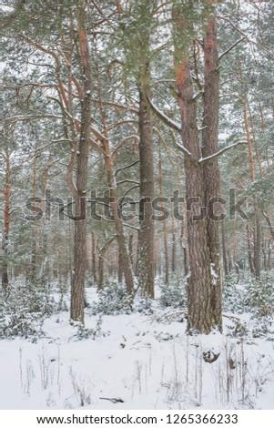 Winter in Belovezhskaya Pushcha. Belarus.  #1265366233