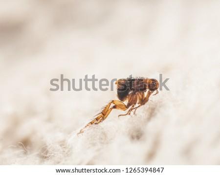 Dog flea (Ctenocephalides canis) on white fur. Microscopic photo