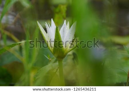 White Lily  #1265436211