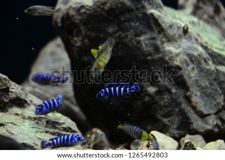 The Demasoni Cichlid, Pseudotropheus demasoni is found in Lake Malawi, from the Pombo Rocks in Tanzanian waters. It is a popular freshwater biotop aquarium fish. #1265492803