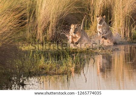 Watershy lions in the Okavango Delta, Botswana