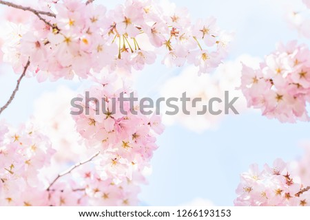 Closeup, looking up view on one vibrant pink cherry blossoms on sakura tree branch with flower petals in spring at Washington DC with sunshine, sunlight and backlight #1266193153