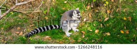 funny animal behavior, a ring tailed lemur licking a tree with his tongue, endangered tropical monkey from madagascar #1266248116