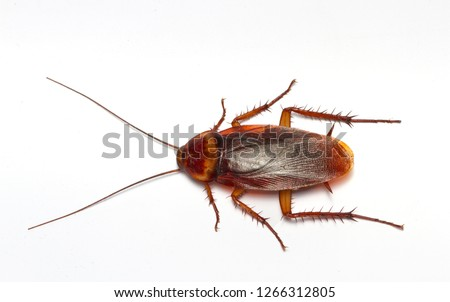 Cockroaches isolated on white background