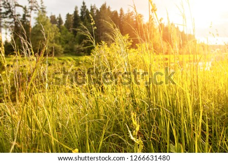 Tall grass on the bank of the river in the rays of the sun at sunset. Summer day, shot against the rays of the sun #1266631480