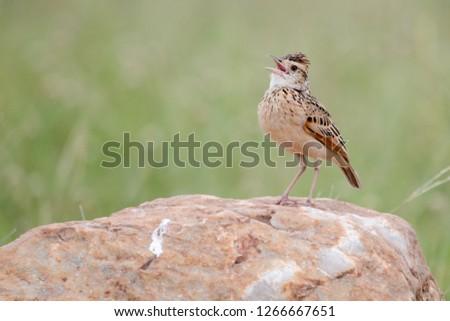 Bird in Massai Mara #1266667651