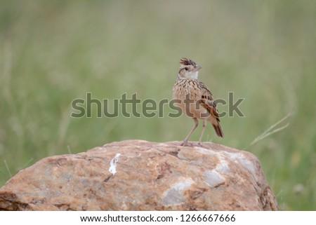 Bird in Massai Mara #1266667666