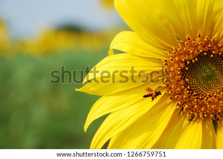Bumblew bee swarm sunflower are blooming #1266759751