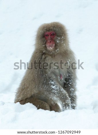 Japanese macaque on the snow. The Japanese macaque ( Scientific name: Macaca fuscata), also known as the snow monkey. Natural habitat, winter season. #1267092949