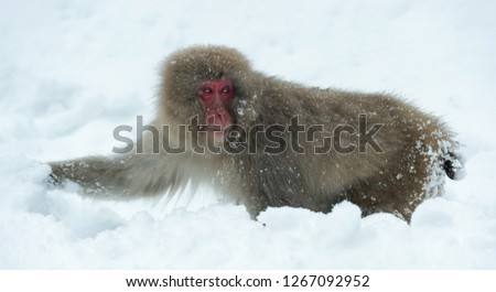 Japanese macaque on the snow. The Japanese macaque ( Scientific name: Macaca fuscata), also known as the snow monkey. Natural habitat, winter season. #1267092952