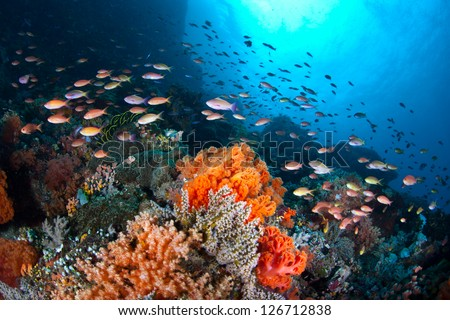 Off North Sulawesi, Indonesia, a plethora of small, colorful fish (Pseudanthias sp.) swim in a current passing over a coral reef.  The fish are catching tiny zooplankton that ride the ocean current.