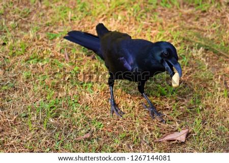 crow bird  Black #1267144081