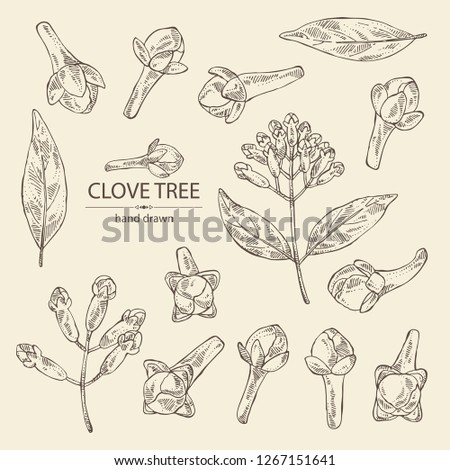 Collection of clove tree: buds and leaves. Vector hand drawn illustration Royalty-Free Stock Photo #1267151641
