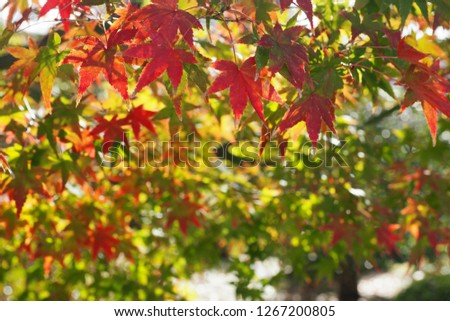 Colorful Maple leaves #1267200805